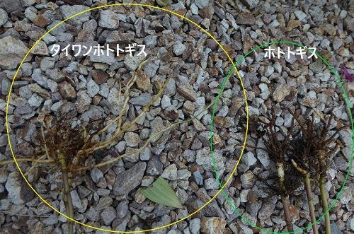 台湾ホトトギスとホトトギスの根っこ