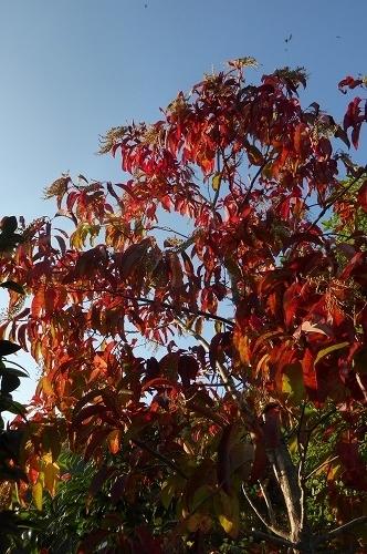 スズランの木 紅葉