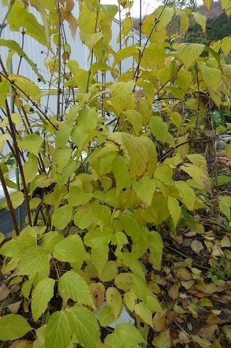 白山吹の黄葉