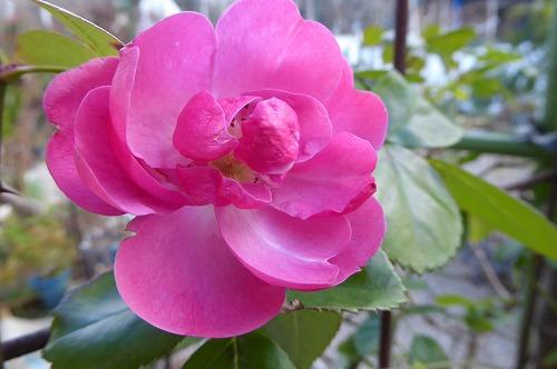 バラ 健気に咲いています。