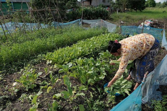 家庭菜園でできた野菜を収穫している様子