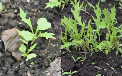 京水菜の成長