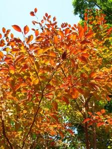 ヒメシャラ紅葉:葉IMG_5545