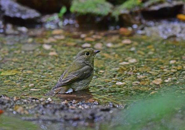 キビタキ雌水浴び DSC_0045