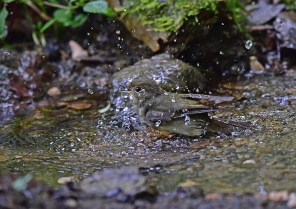 キビタキ雌水浴び DSC_0098