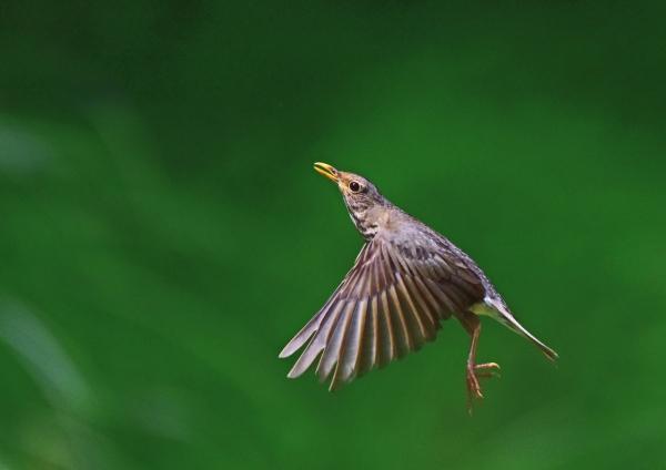 クロツグミ雌飛び5 DSC_0131