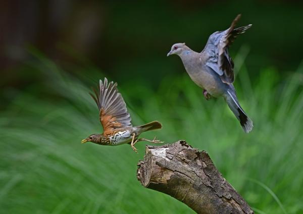 クロツグミ雌飛び6とハト DSC
