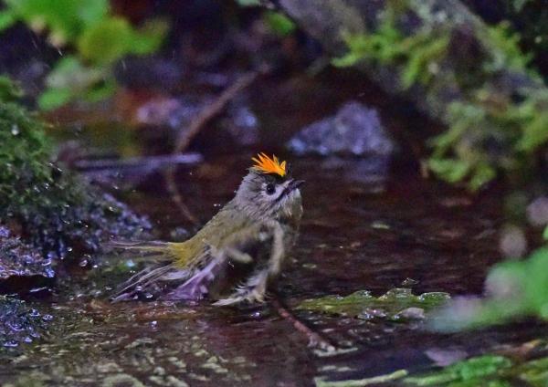 キクイタダキ水浴び4 DSC_033