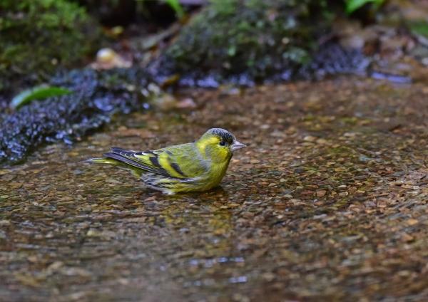 マヒワ水浴び1 DSC_0136