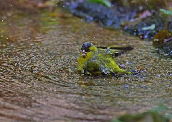 マヒワ水浴び4 DSC_0265