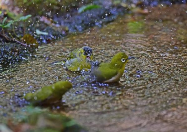 マヒワ水浴び5 DSC_0221
