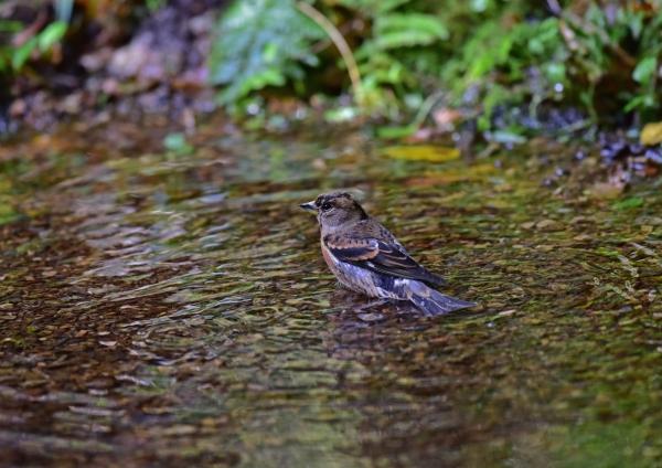 アトリ水浴び1 DSC_0248