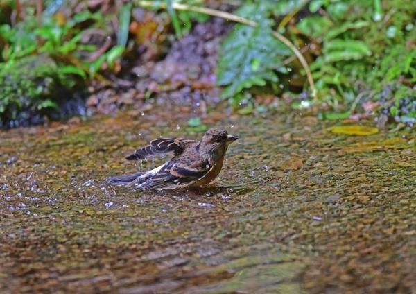 アトリ水浴び3 DSC_0284