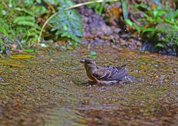 アトリ水浴び4 DSC_0261