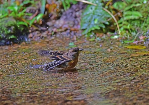 アトリ水浴び5 DSC_0262