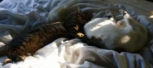 猫兄弟一緒に寝る の図