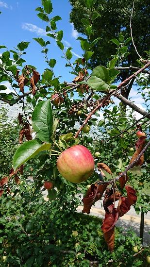 りんごの木アップ