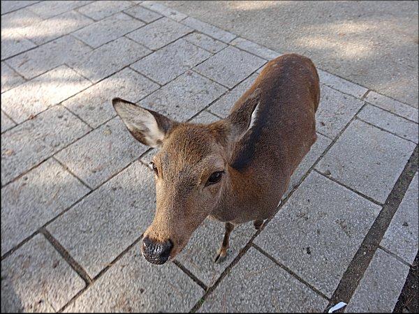 03鹿せんべいに寄って来た鹿