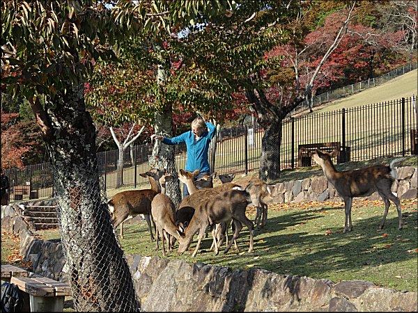 13鹿に、鹿せんべいをやる外国人