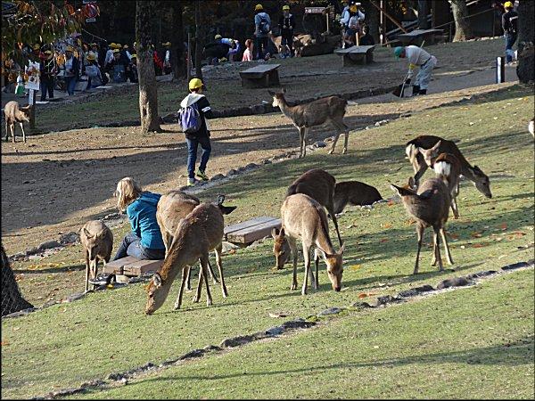 15草を食べる鹿