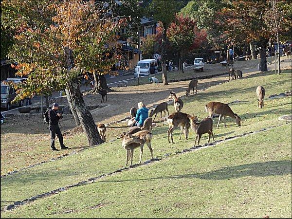 16鹿の餌やりを写真に撮る、外国人カップル