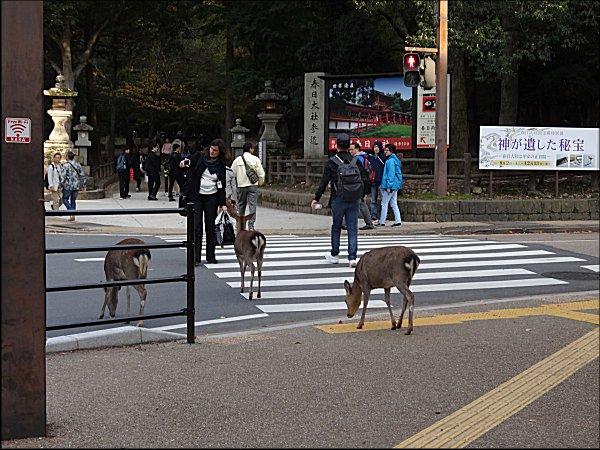17横断歩道を渡る鹿