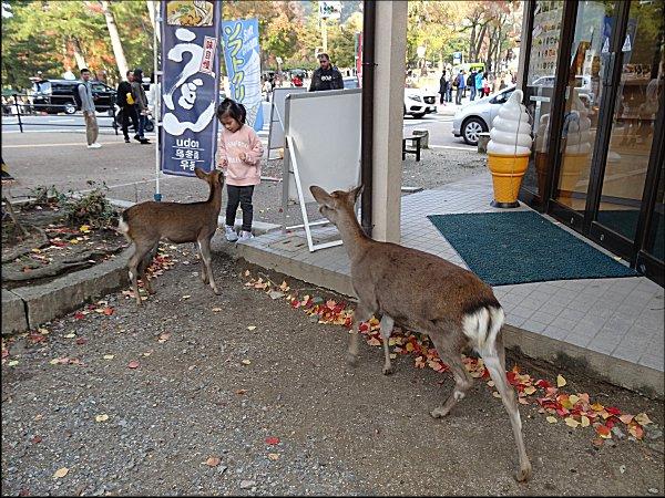 18鹿に鹿せんべいをやる、外国人の女の子