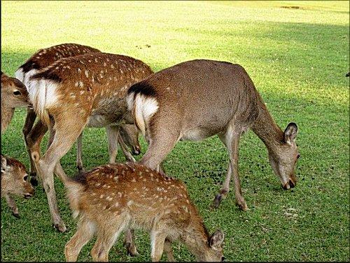 鹿の夏毛と冬毛