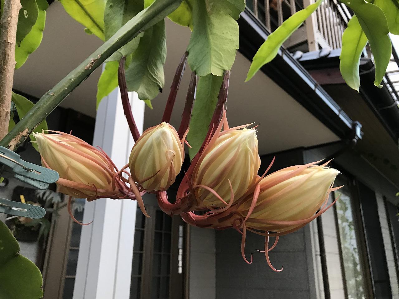 20170929-EpiphyllumOxypetalum-I03.jpg