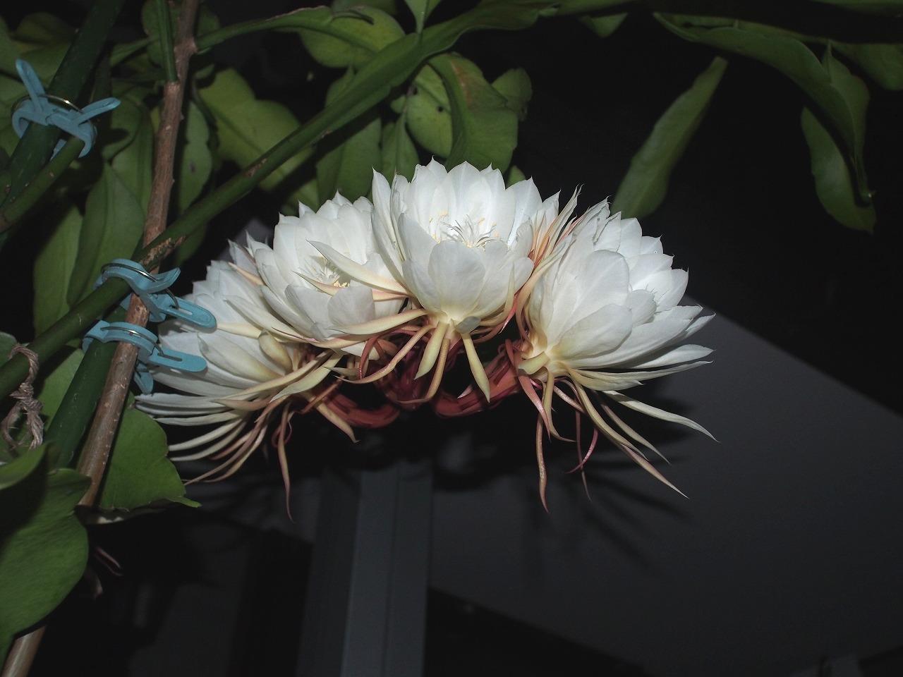 20170929-EpiphyllumOxypetalum-O07.jpg