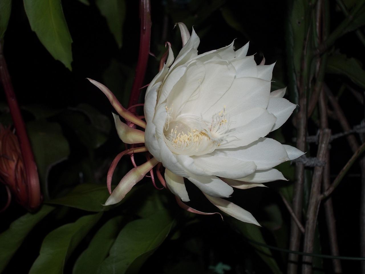20170930-EpiphyllumOxypetalum-O05.jpg