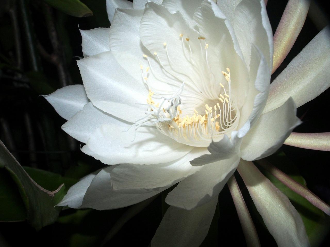 20171001-EpiphyllumOxypetalum-O13.jpg