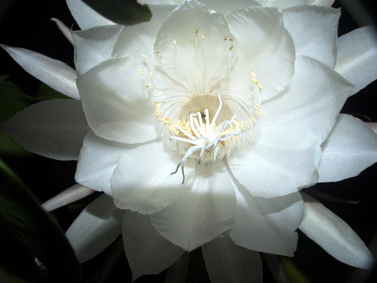 20171001-EpiphyllumOxypetalum-O15.jpg