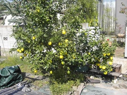 20111109_レモン