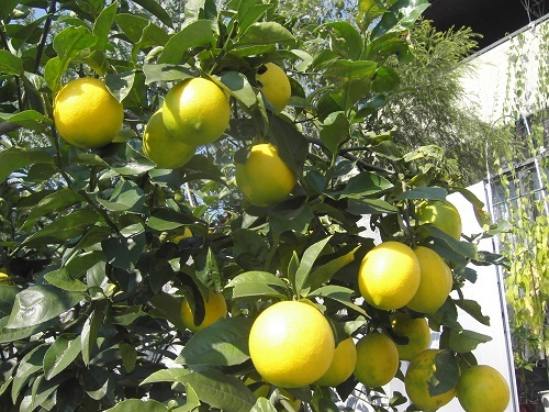 20111109_レモン2