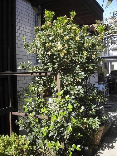 20171118_いちごの木