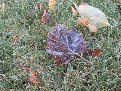 霜のおりた葉っぱ