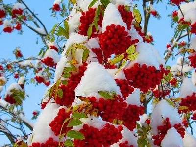 ナナカマドと雪2