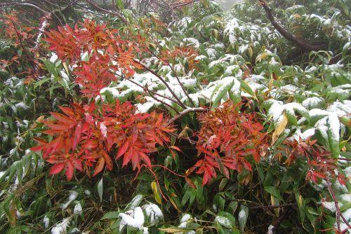 紅葉したナナカマドに積雪