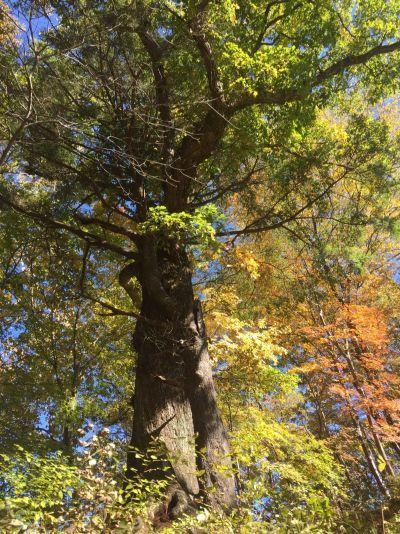 コナラ巨木