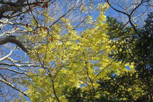 タカノツメ黄葉