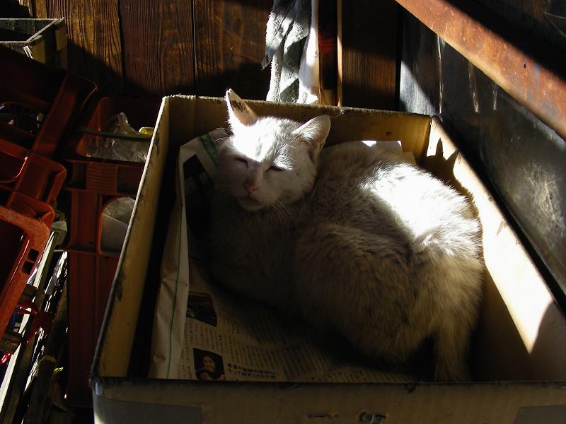 段ボールハウスの白猫