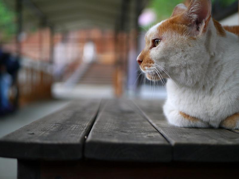 通路ベンチ上の茶白猫1