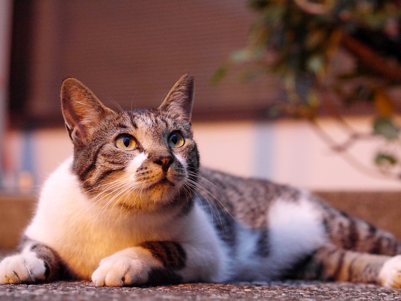 夕日とキジ白猫3