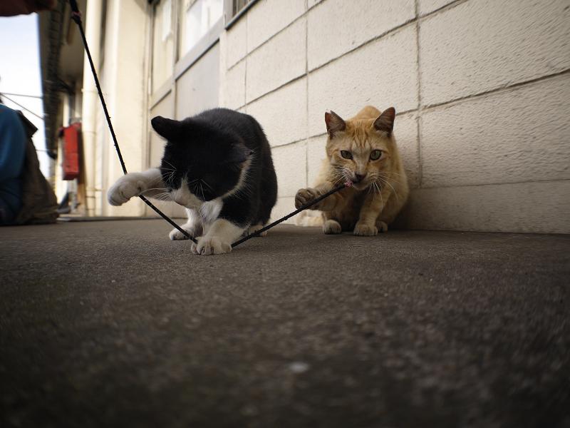 ゴム紐遊びの黒白猫と茶トラ猫のローアングル1