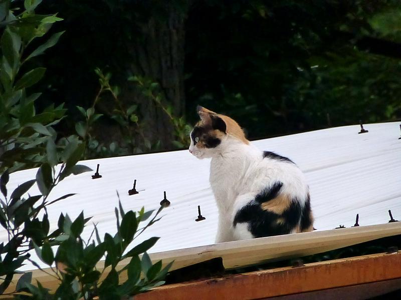 波板屋根と三毛猫1