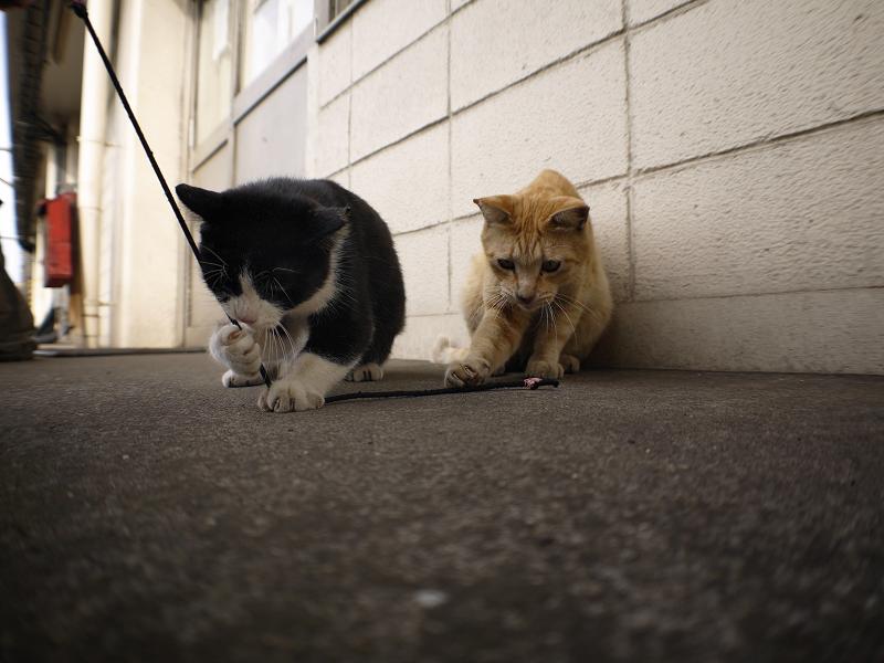 ゴム紐遊びの黒白猫と茶トラ猫のローアングル2