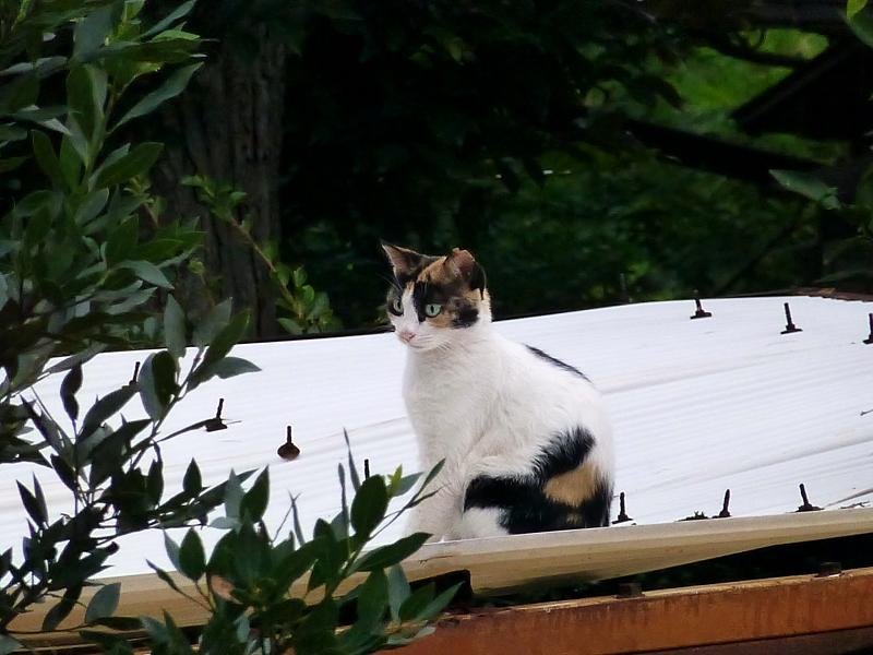 波板屋根と三毛猫2