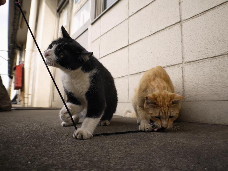ゴム紐遊びの黒白猫と茶トラ猫のローアングル3