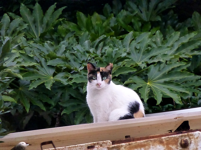 波板屋根と三毛猫3